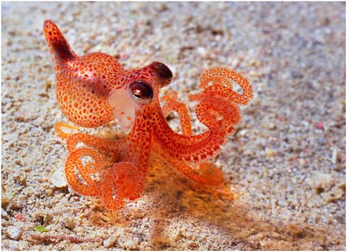 best baby octopus ideas on pinterest tiny octopus adorable animals and adorable baby animals