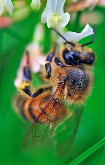 best bee loved images on pinterest bees honey bees and bee happy 10