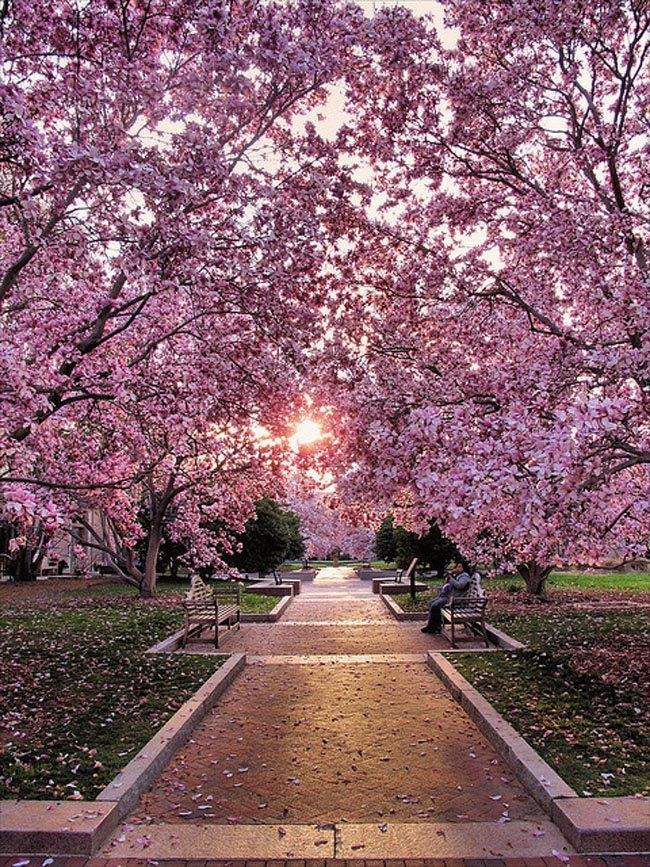 best cherry blossom pictures ideas on pinterest cherry 1